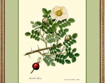 WHITE ROSE - Botanical 12x16 fine art print reproduction 294
