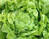 Butterhead Lettuces Custom Mixed Varieties Reds and Greens Velvety Textured Superb Flavor Organically Grown Heirloom Seeds
