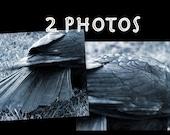 REDUCED- Set of 2 Crow Prints, 5 x 7 photos, crow photographs, corvid, black bird, feathers