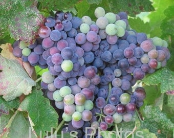 Vineyard Wine Grapes Collection, Landscape Photography