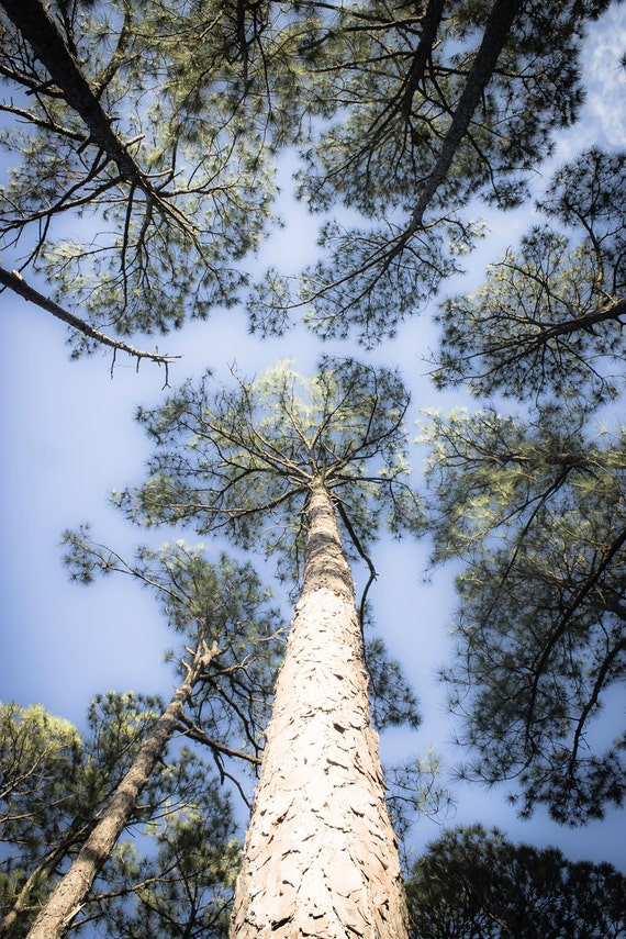 wall art, home decor, Fine Art Print, forest, pine tree, blue sky, nature, woods, bark, wall hanging, tree trunk - Looking Up