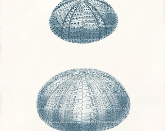 Antique Sea Urchin Art Print - Two Sea Urchins D - Natural History