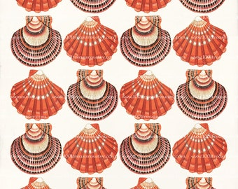 Coral Art Print - 8 x 10 - Pecten Collage