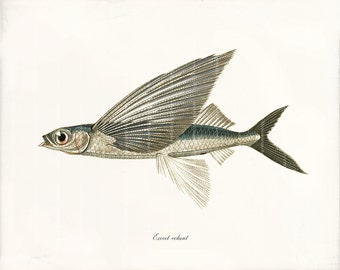 Fish Art Print - 8 x 10 - Flying Fish