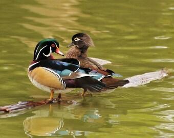 Wood duck photo, Mr. & Mrs Wood Duck in the Lake Photograph, home decor, wall decor, man cave decor, bird decor, nature photography
