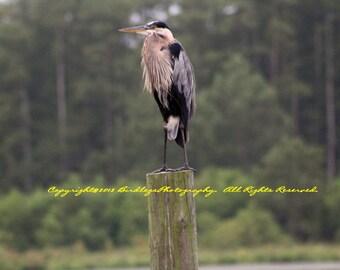 Heron on a Stick - Great Blue Heron - Chickahominy River, Virgina