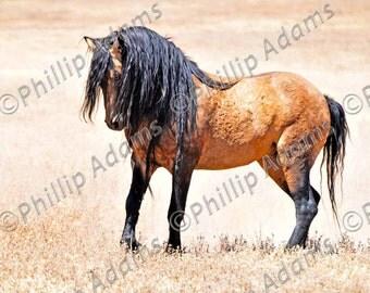 """Mesteño 1 - Mustang Stallion - 8.5"""" x 11"""""""