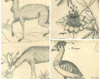 Set of  3 Vintage Prints Pen and Ink Drawings Flora and Fauna of Maranhao Brazil
