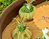 OLIVIA SEA URCHIN - air plant, sea urchin, wedding favor, terrarium party favors, feng shui, sand art,zen garden,unique gifts, terranium
