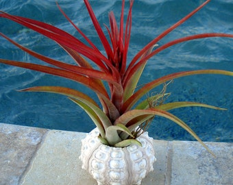 Sea Urchin Air plant Planter