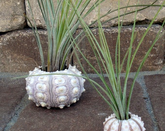 Sea Urchin Air Plant Planter Small