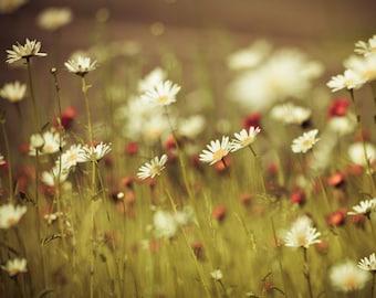 Flower photo, daisies, white flowers, green and orange decor, spring garden art, flora, dreamy flower decor