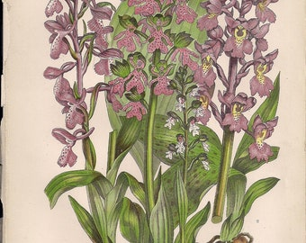 Original Victorian Chromolithograph Floral Picture print c.1900 - Green Winged Meadow Orchis - Orchis.