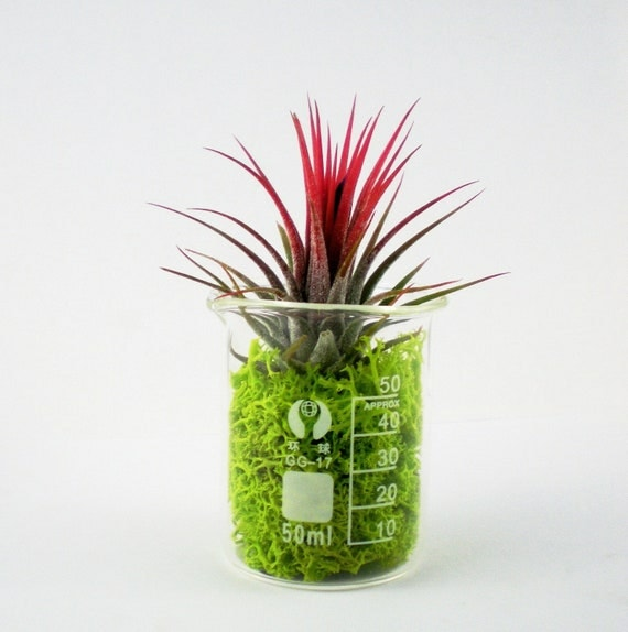 Air Plant in Glass Lab Beaker With Reindeer Moss