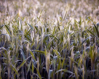 """Triticale Field Print 9"""" X 12"""" Summer Country Scene, Country Farm Field, Country Living, Wheat and Rye"""