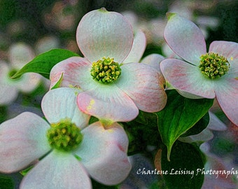 Photography, Watercolor, Dogwood Flower,  Pink, White, Girls Bedroom, Gift, Note Cards, Get Well Soon, Easter, Springtime, Macro