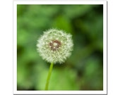 Dandelion photography, Fine Art Photography, Emerald Green and White, Flower print Canvas or Photo Paper, 8x8 bright chartreuse