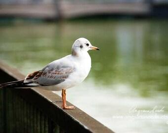 Seagull Photograph bird photo Nature Wildlife Photo Animal print 8x12 art print green white grey gift under 50