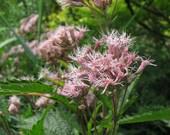 Sweet Joe Pye Weed Seeds - Wildflower
