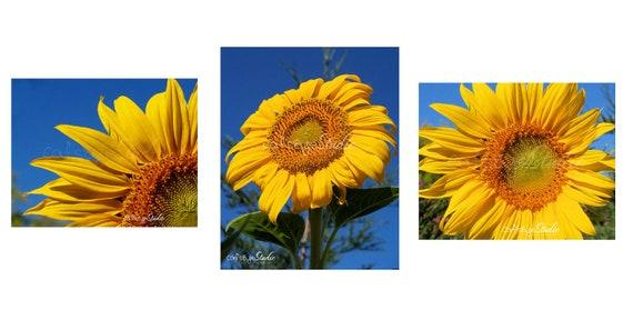 SUNFLOWER TRIO Prints Set of 3, Bright Sunflower Flower Prints, Flower Petals, Floral Photography three 8x10 Print