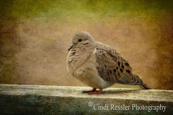 Photo, Mourning Dove 2, Photography, Bird, Nature Lover, Fine Art, Nature Inspired, Bird Lover Gift, Housewarming Gift, Office Decor, Gift