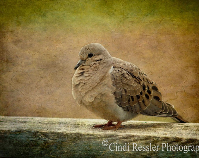 Mourning Dove 2, Photography, Bird Photography, Nature Photography