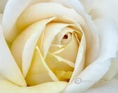 White Rose photography Ireland high resolution download fast delivery no shipping charges