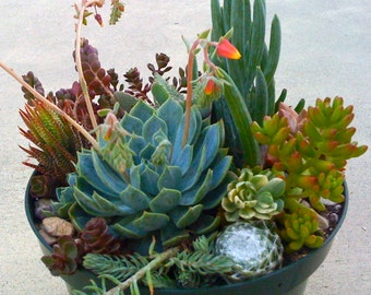 Succulent Plants, Terrarium, Succulent Centerpieces, Dish Garden, Succulent Wedding, Home Decor