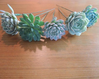 5 mint color rosettes- Wired Succulents