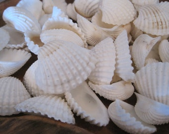 Seashells - White Ark Shells (15) - Seashell Supply - Beach Wedding - Craft Seashells - Coastal Home Decor