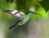 Hummingbird Art, Bird photography, Hummingbird print, Emerald Green, hummingbird flying, wall art, home decor, birdwatching print,