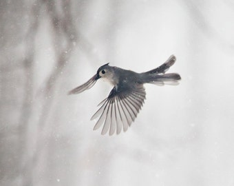 Bird photography: The Art of Staying Aloft No.22 Tufted Titmouse (Baeolophus bicolor)