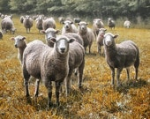 Sheep, Ewes, Lambs, Fine Art, Photograph,Scenic, Fall, Print, Commercial, Flock