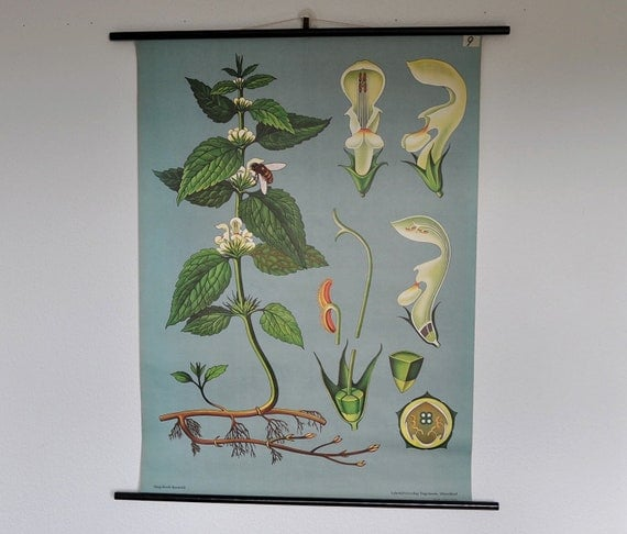 Original Mid Century Botany Print. White Nettle (Lamium album). Pull Down Wall Map. Jung Koch Quentell. Germany.