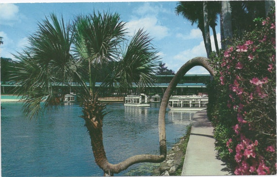 SILVER SPRINGS, FLORIDA The Lucky Palm is a land mark at Florida's Beautiful Silver Springs.... Unused Vintage Postcard