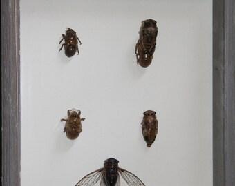 Cicada Life Cycle 1
