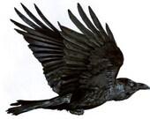 Corvus: colored pencil raven illustration signed print