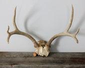 RESERVED--------Vintage Deer Antlers