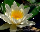 Water Lily, Spring Photography, home decor, nature, epson, matte