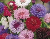 50% off! Bachelor Button Polka Dot Mix, Great for Dried Arrangements, Cheapseeds, 25 Seeds