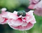 BULK 500 Seeds, Corn Poppy Mix Seeds, Red and Pink, Flower Garden Seeds, Reseeds Itself