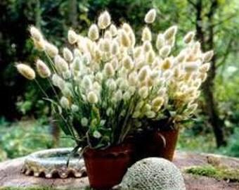 Heirloom Bunny Tails Seeds, Charming Ornamental Grass, 20 Seeds