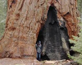 Tallest Tree in the World, Grow Your Own Sequoia Tree, 5 Seeds