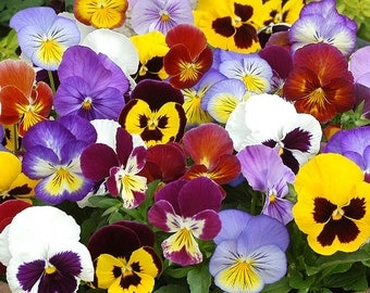 Heirloom Pansy Swiss Giants, Cool Weather Flower, Border or Container Plant, 20 Seeds