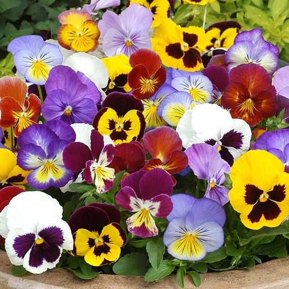 Cool Weather Wedding Flowers: Heirloom Pansy Swiss Giants, Cool Weather Flower, Border