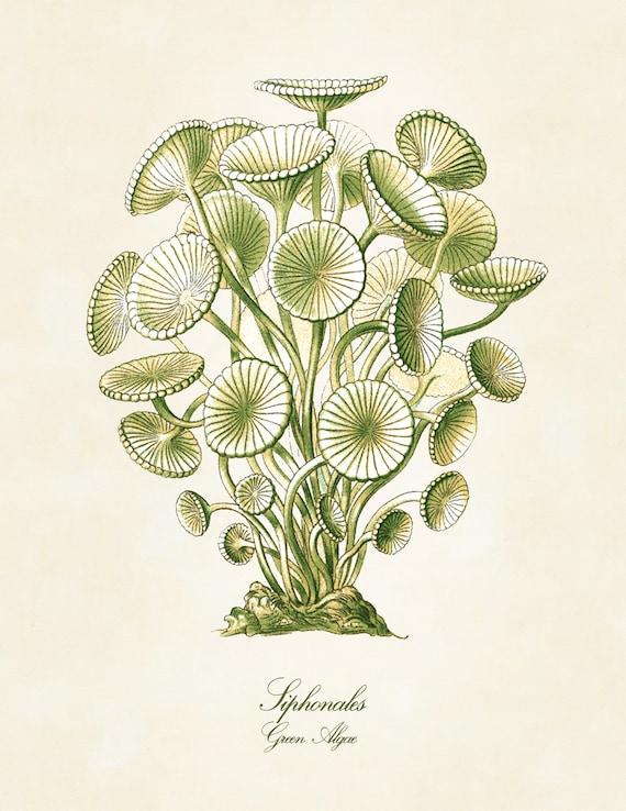 Mod Green Algae Poster or Print, Ernst Haeckel Scientific Illustration, Art Nouveau Wall Art, Educational Art, Algae Drawing, Giclee Print