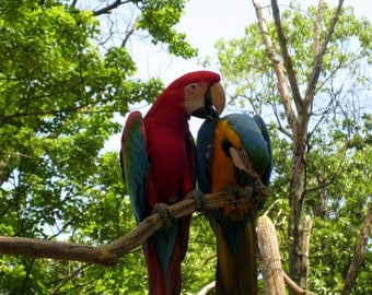 8X10 Parrot Photo, Red Scarlet Macaw, Blue and Gold Macaw, Nature Decor, Bird Photography, Jungle Animal, Tropical Art, Bird Lovers Gift