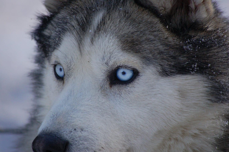 Dog Photograph Blue Eyes Siberian Husky Gray White Snow