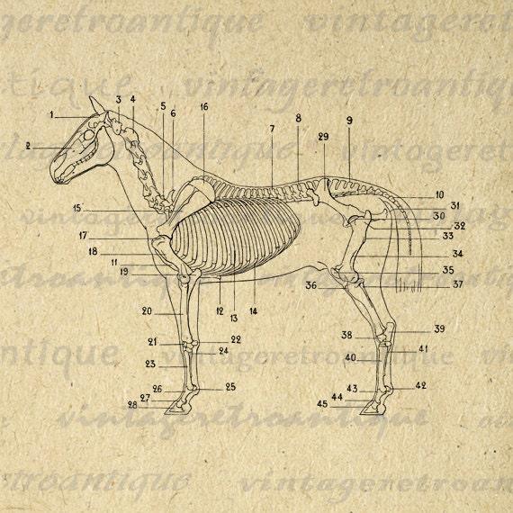 digital image horse skeleton diagram by vintageretroantique. Black Bedroom Furniture Sets. Home Design Ideas