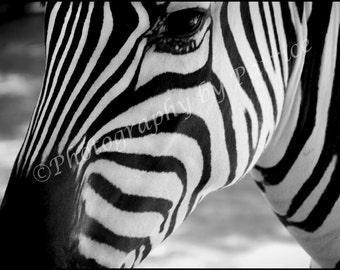 Black & White Zebra - 8x10 Original Photo